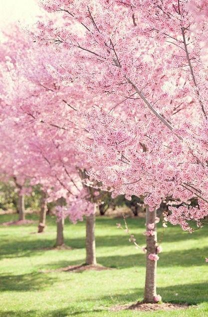 23 Voir Les Cerisiers En Fleurs Au Japon Spring Landscaping Blossom Trees Flowering Trees