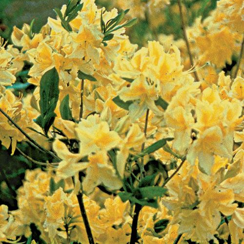 Lemon lights rhododendron a chorus of bright fragrant yellow lemon lights rhododendron a chorus of bright fragrant yellow trumpets mightylinksfo