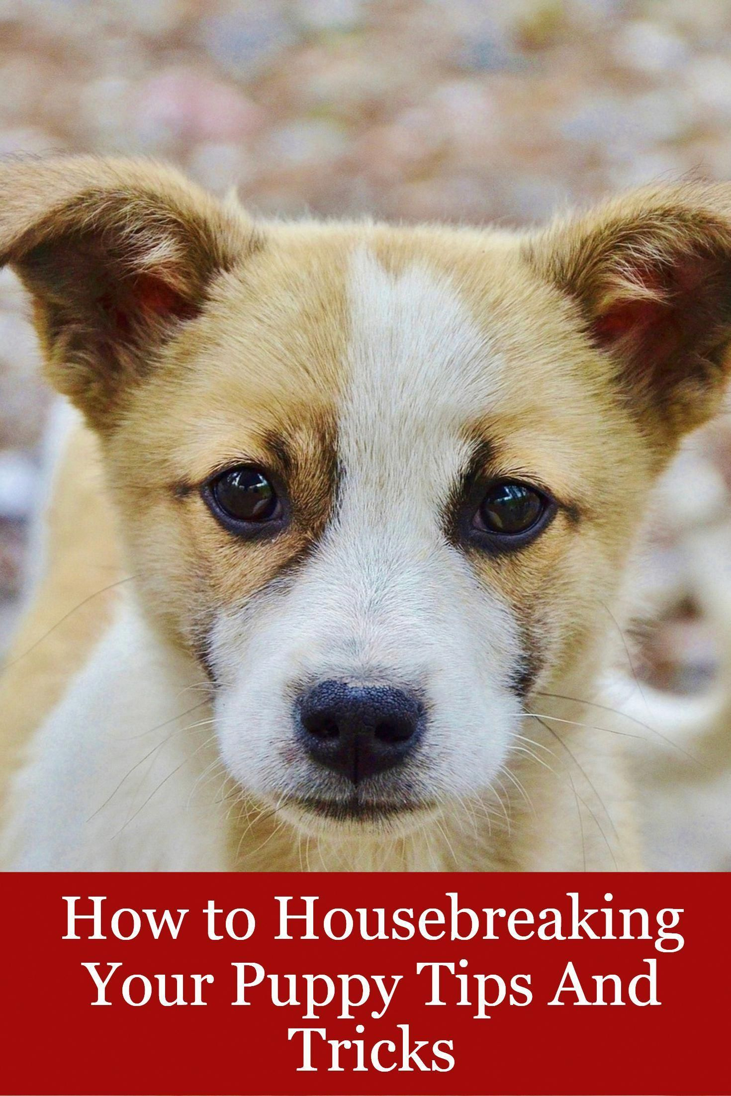 How To Housebreaking Your Puppy Tips And Tricks Housebreaking
