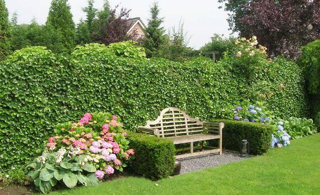 hecke pflanzen garten hecke pflanzen efeuhecke und. Black Bedroom Furniture Sets. Home Design Ideas