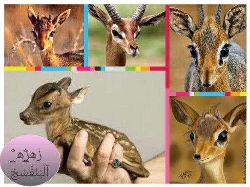 من منكم شاف غزال الريم هذه عيون الريم الحقيقية التي تذكر بالقصائد الغزلية ونرى ابداع الله في خلقة Deer Animals Okapi