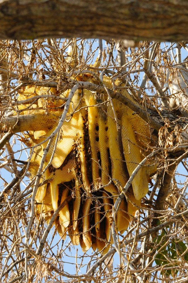 This Is A Large Beehive In Tree