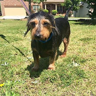 Loganville Ga Dachshund Meet Joey A Dog For Adoption Http
