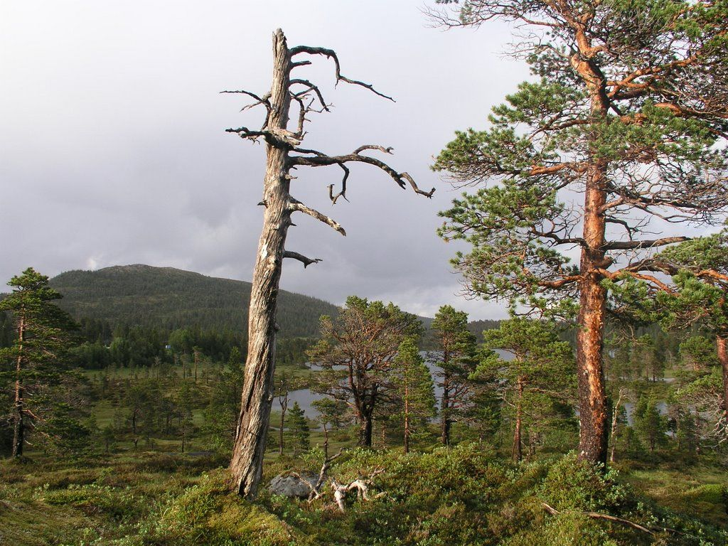 Meungan unprotected old-growth forest 14 Osen Norway