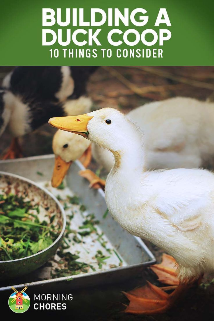 10 important things to consider when building a duck coop duck