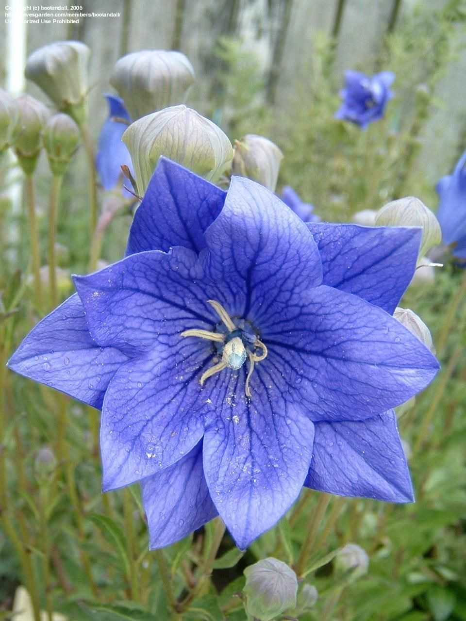 Plantfiles Picture 1 Of Balloon Flower Chinese Bellflower Anese Double