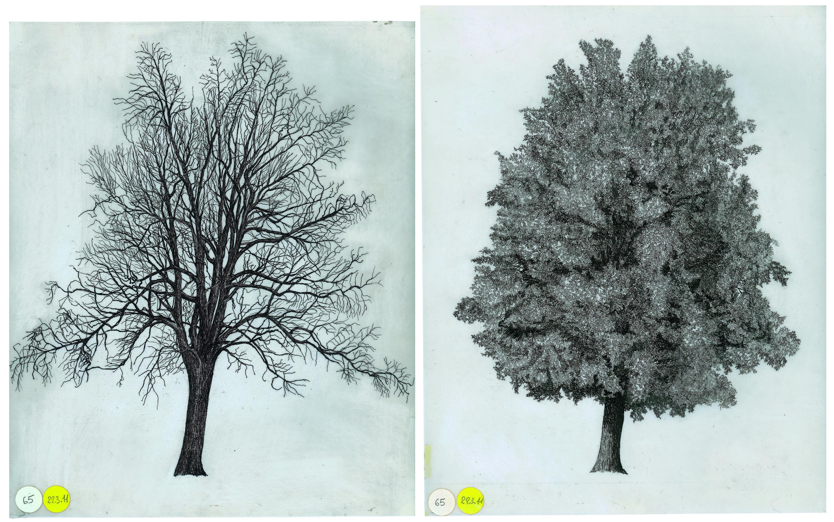 Disegno del Quercus robur Courtesy Archivio Architetto Cesare Leonardi