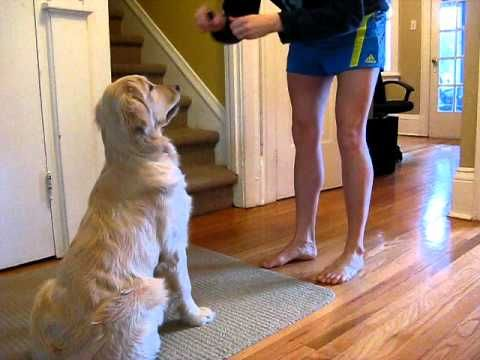 Peanut Our Golden Retriever Puppy Told To Leave It Youtube