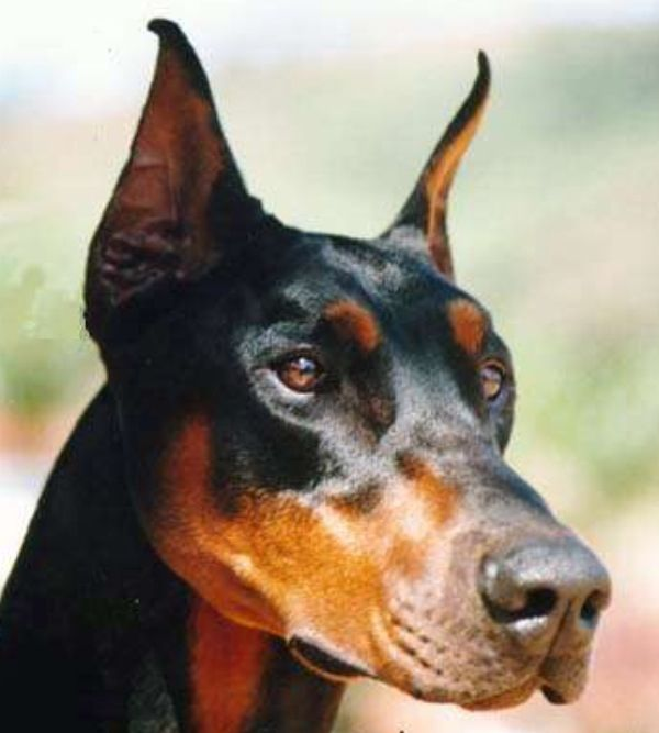 Lovely Head With Images Doberman Dog Shots Doberman Love