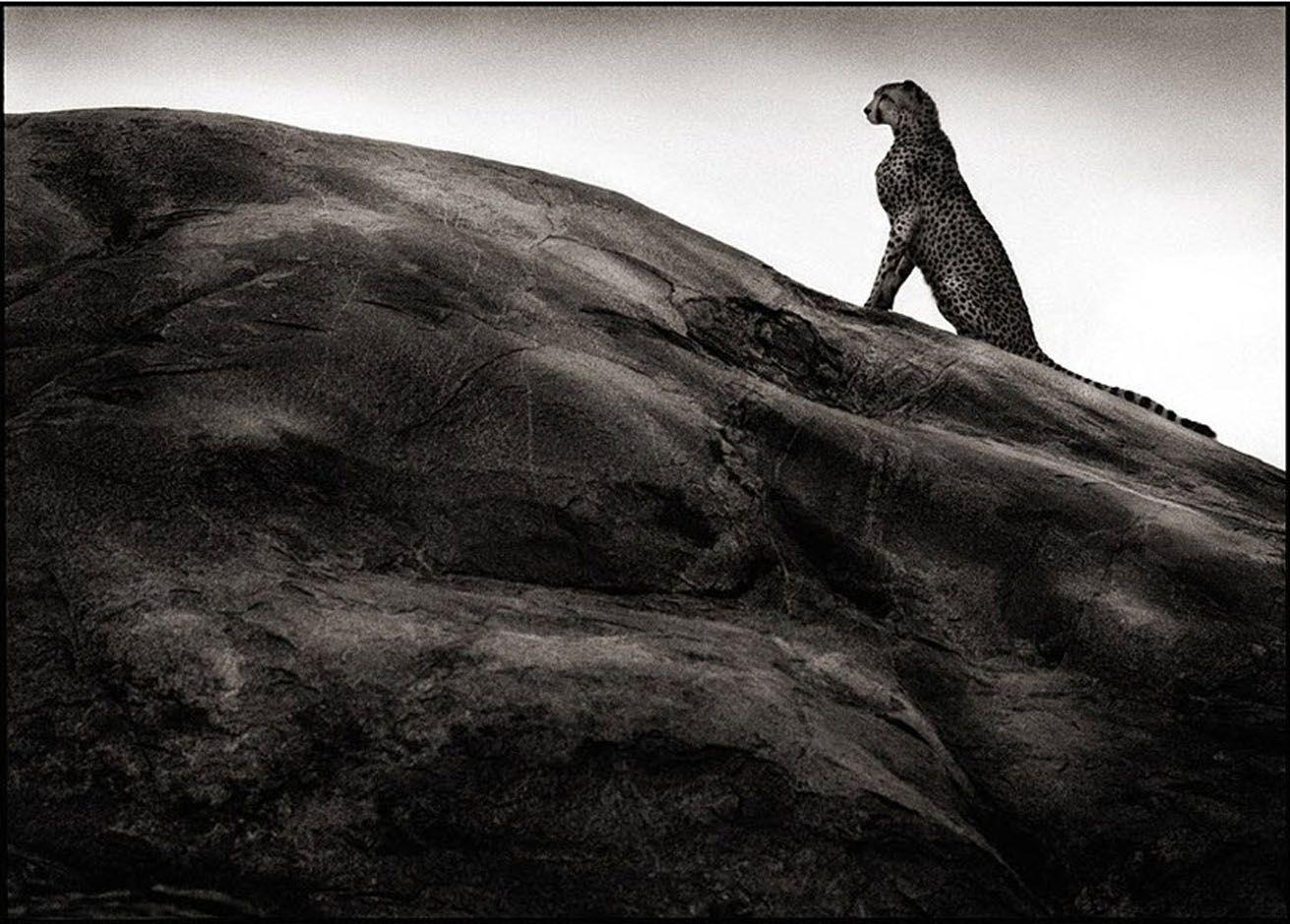 nick-brandt-cheetah-on-rock-serengeti-photographs-pigment-print-zoom.jpg 1.311×939 Pixel