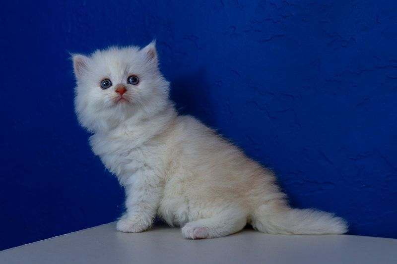 Ragdoll Kittens for Sale Near Me | Buy Ragdoll Kitten | www.RagCats.us #ragdollkittens Ragdoll Kittens for Sale Near Me | Buy Ragdoll Kitten | www.RagCats.us #ragdollkittens Ragdoll Kittens for Sale Near Me | Buy Ragdoll Kitten | www.RagCats.us #ragdollkittens Ragdoll Kittens for Sale Near Me | Buy Ragdoll Kitten | www.RagCats.us #ragdollkittens Ragdoll Kittens for Sale Near Me | Buy Ragdoll Kitten | www.RagCats.us #ragdollkittens Ragdoll Kittens for Sale Near Me | Buy Ragdoll Kitten | www.RagCa #ragdollkittens