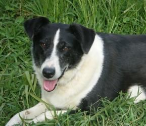 Adopt Sheila Adopted On Border Collie Mix Animal Control