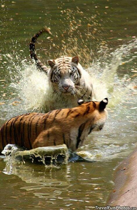 Tigers playing in water