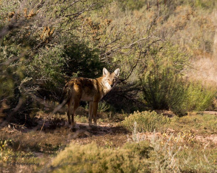 Coyote Wildlife photography, Wildlife, Moose