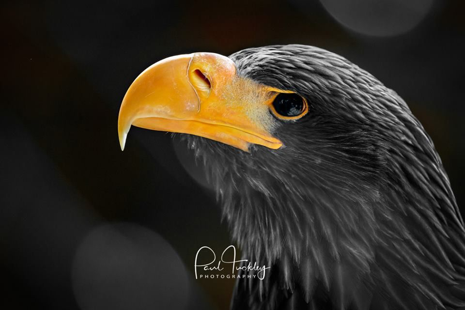 Steller S Sea Eagle Haliaeetus Pelagicus This Is A Portrait Of A Captive Bred Bird Taken At The Falconry Centre K Steller S Sea Eagle Sea Eagle Bald Eagle