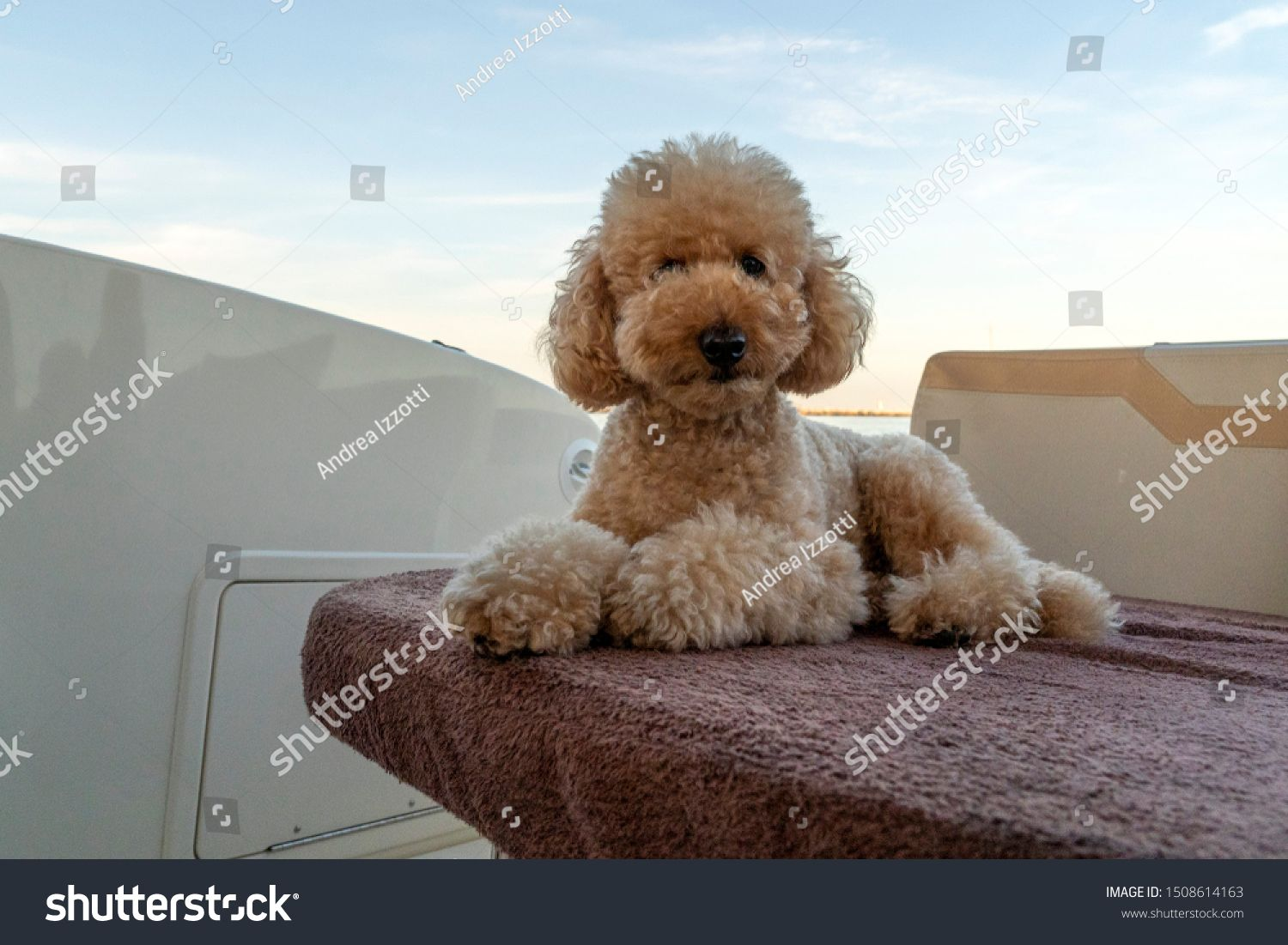 funny happy poodle dog looking at you #Ad , #ad, #happy#funny#dog#poodle