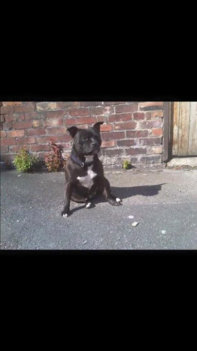Staffordshire Bull Terrier Warrington Lostbox Staffordshire Bull Terrier Bull Terrier Staffordshire