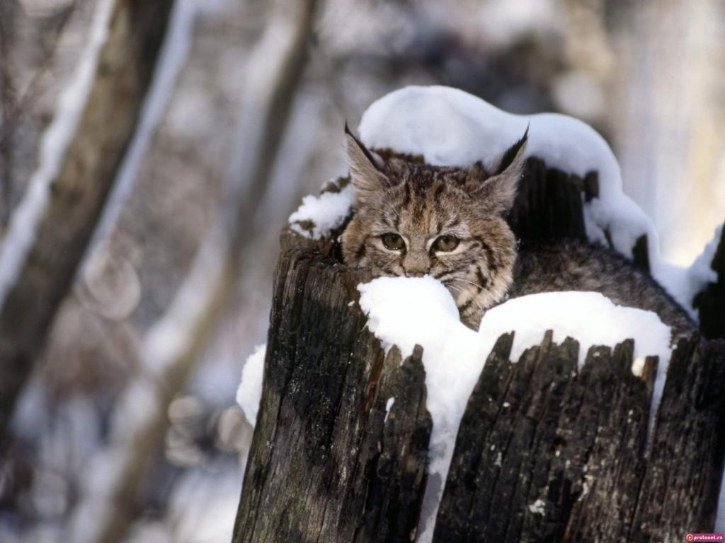 Animales Felino Leopardos Fondo De Pantalla Fondos De: Fondos De Pantalla Gratis: Http