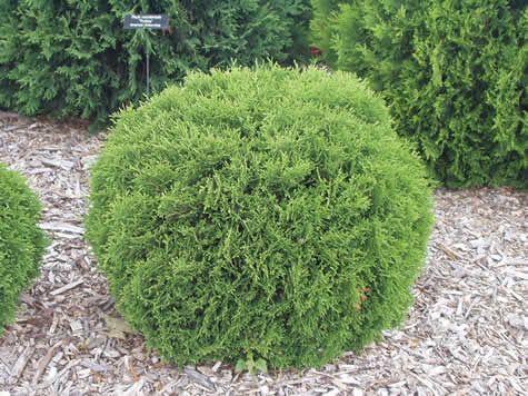 Share hertz midget and evergreen thank