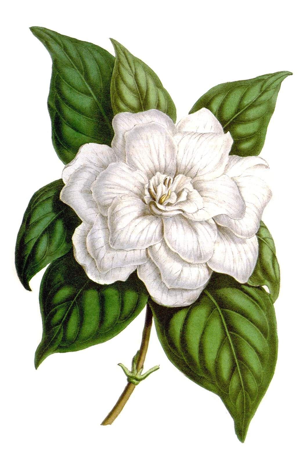 Gardenia Jasminoides Sticker By Theloxodonta Botanical Illustration Jasmine Flower Tattoos Jasmine Tattoo