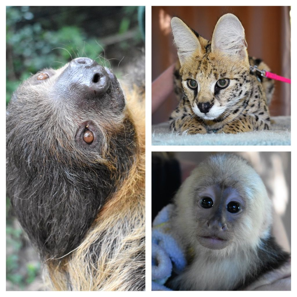 Start Your Holiday Planning With A Visit With Our Cuties Dcwildthings Sloth Serval Monkey Animals Pets Zoo