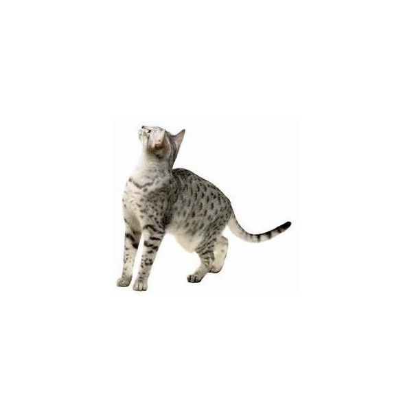 Things to Know About the Egyptian Mau Cat ❤ liked on Polyvore featuring cats, animals, pets, filler and animali