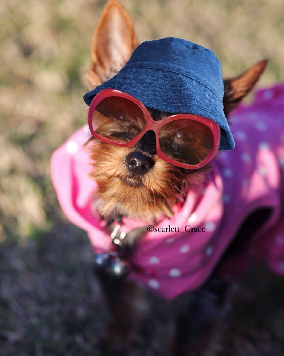 I'm in disguise! Trying to hide from mommy paparazzi! #yorkiegram101 #yorkieshoutouts #yorkiesofficial #proudyorkies #canonphotography #dogoftheday #unitedpawsgroup #pupdoggydog #lacalzenostra #funny#IGFamilyRocks #ScarletteGraceIG #LittleLeosFeatures #JaxChocolateWasted #JudysFlavoroftheWeek #MunchkinFriendsMondays #proudyorkies #Yorkshire #puppiesofinstagram #pupisundayfundayfeature #DIESELminniephoto #ilovemydog #cutedog #poshpamperedpets#gangsta#thuglife by scarlett_grace_lil_monkey
