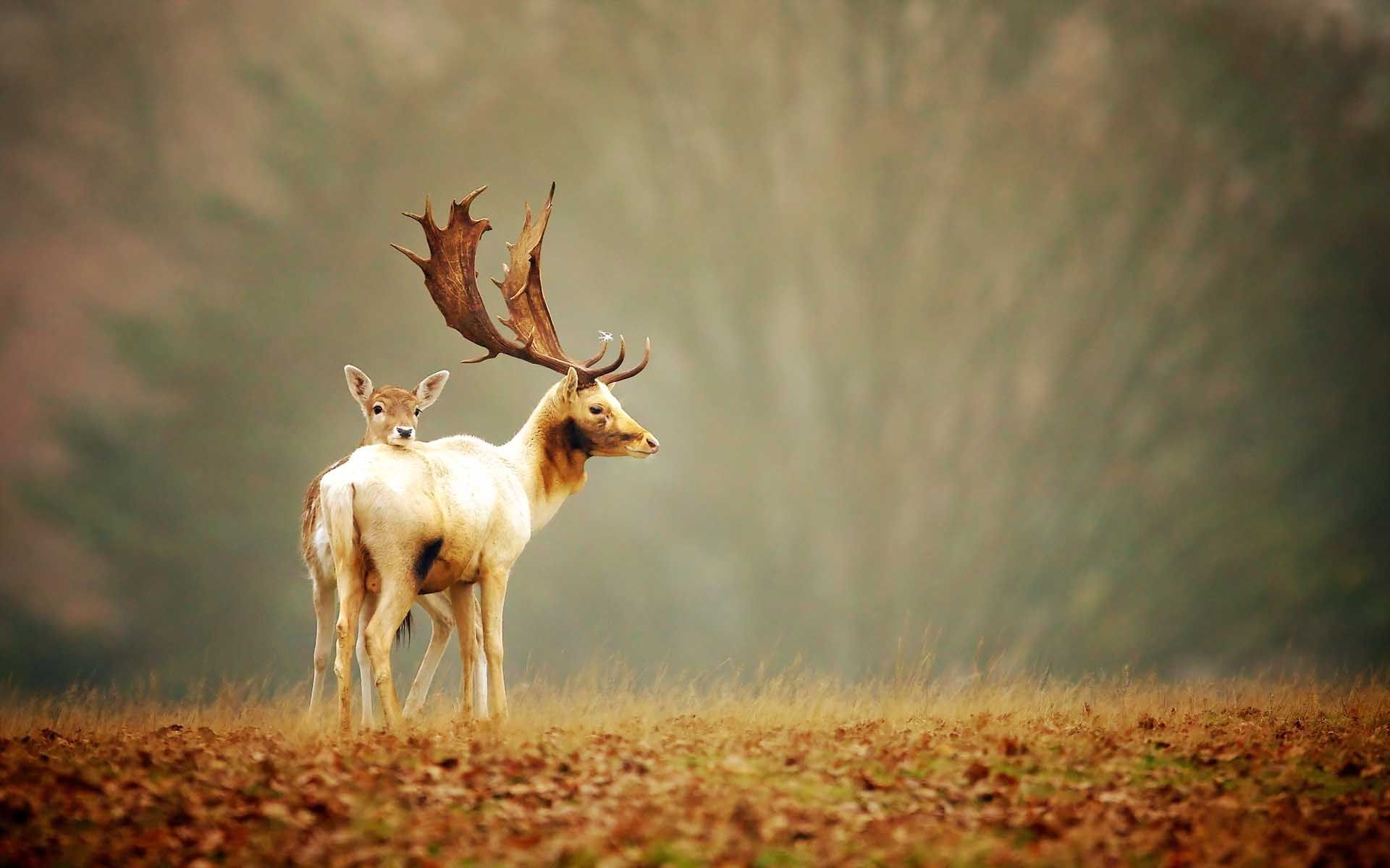 Beautifull Deer HD Wallpapers Free Download Deer
