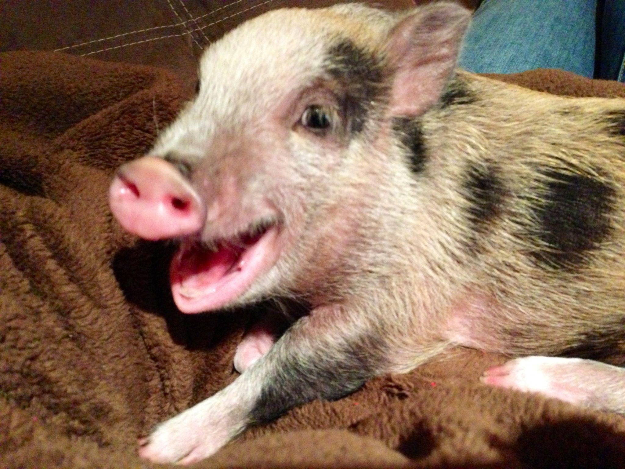 Caught my mini pig, Clementine, midyawn! haha Mini pigs