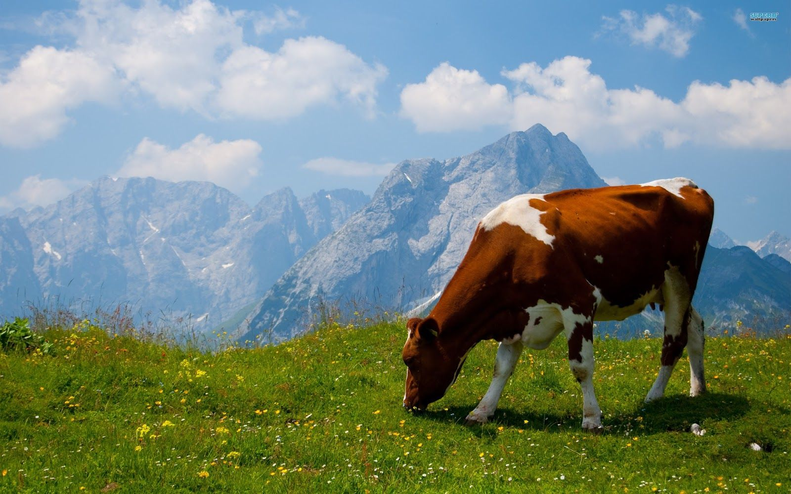 Indian Animals Cow Latest New HD Images Photos Cow