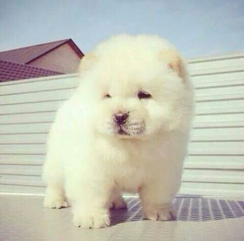 Cute White Chow Choe Puppy Cute Animals