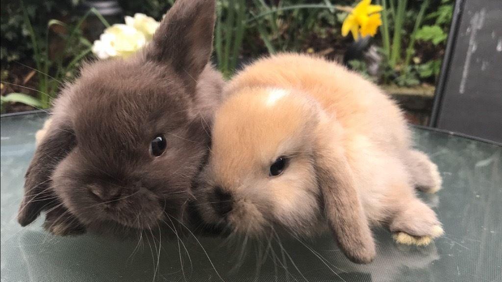 Pedigree Mini Lop Bunnies For Sale In Lutterworth Lop Bunnies Mini Lop Bunnies Mini Lop