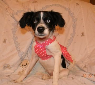 Check out Ariana's profile on AllPaws.com and help her get adopted! Ariana is an adorable Dog that needs a new home. https://www.allpaws.com/adopt-a-dog/cavalier-king-charles-spaniel/1837875?social_ref=pinterest