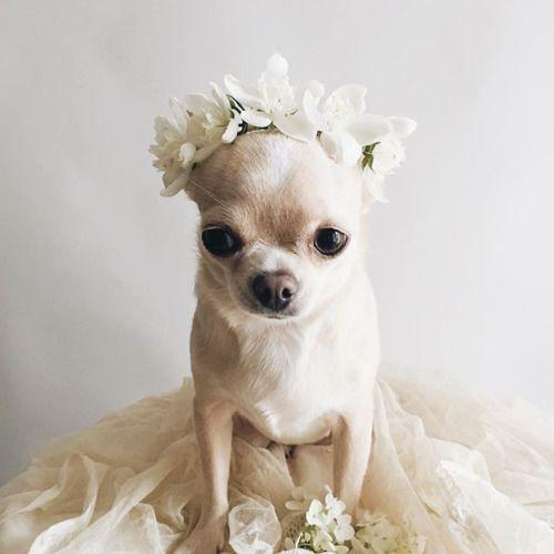 The Cutest Puppy Bride Cute Chihuahua Cute Animals Dog Flower