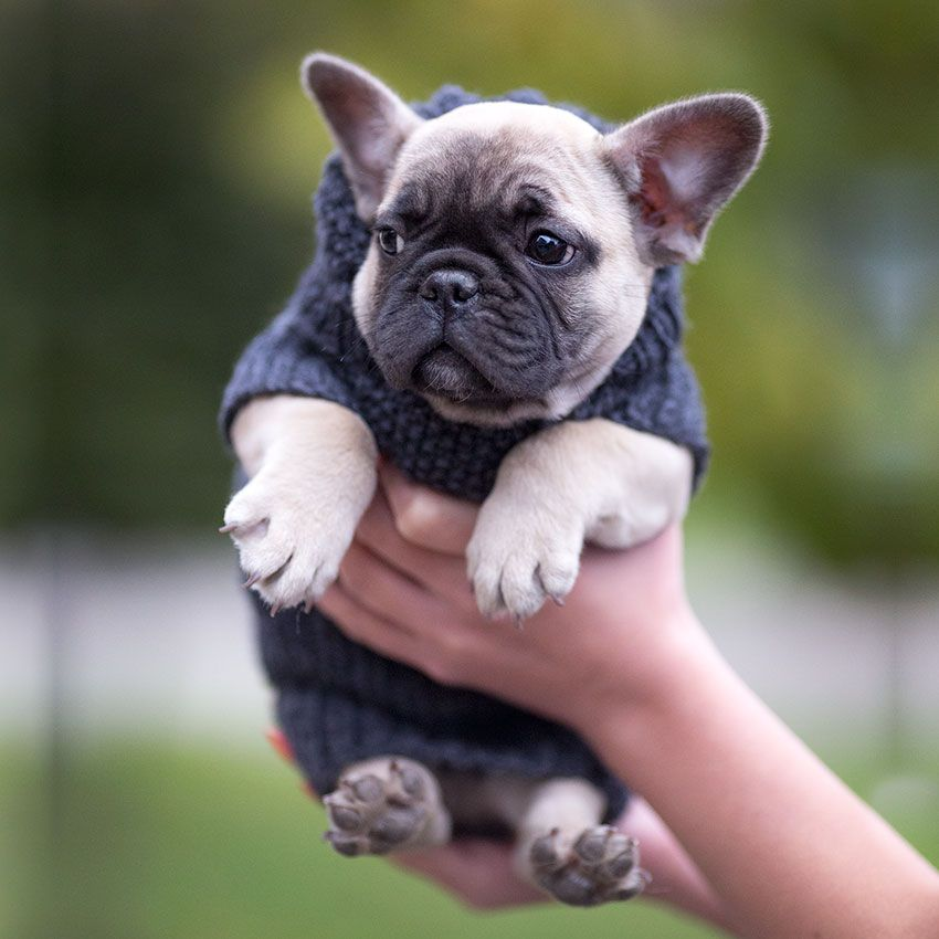 Mini French Bulldog Info - Goldenacresdogs com