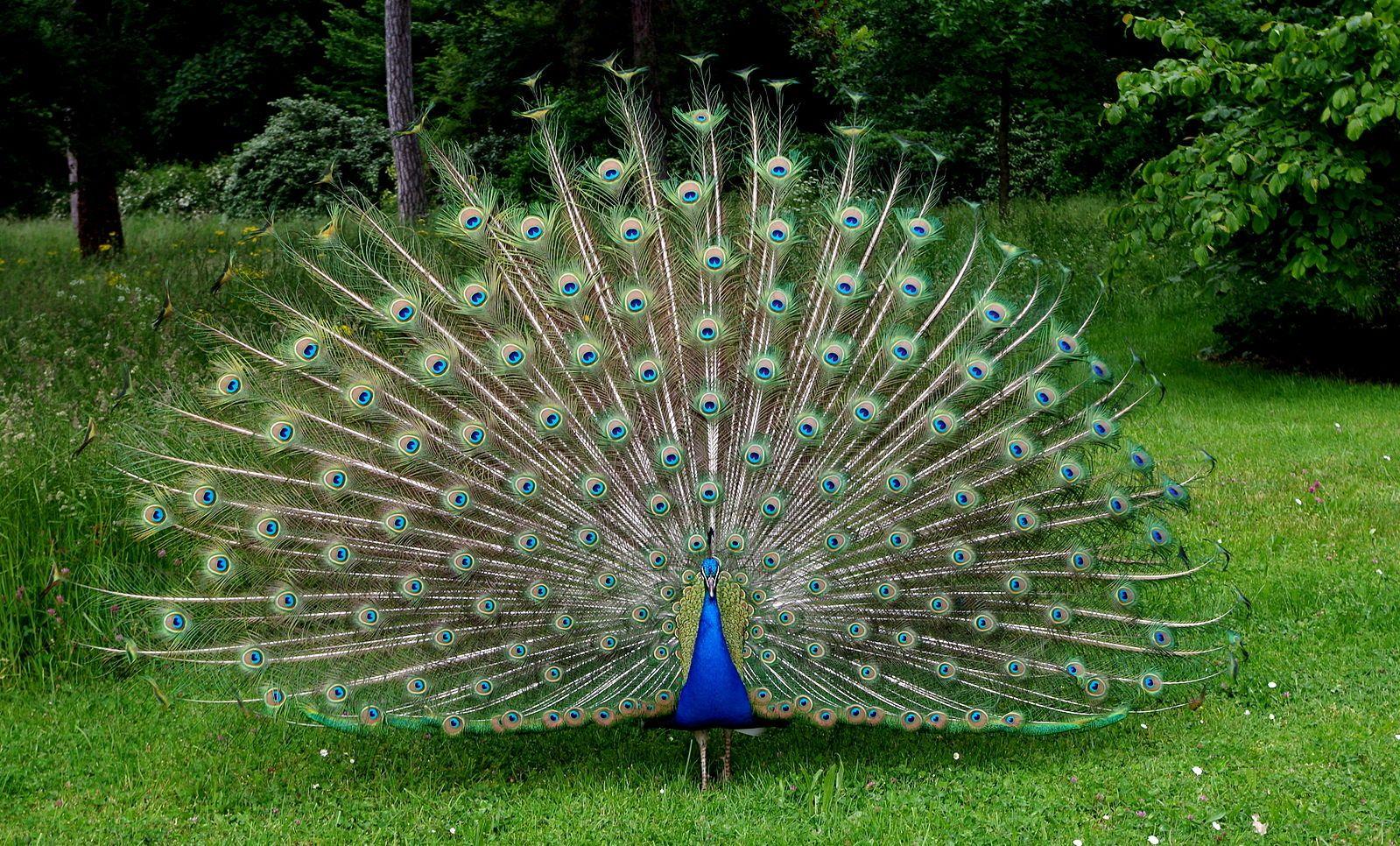 Le Paon Qui Fait La Roue image paon de em du tableau paon   paon dessin, les oiseaux