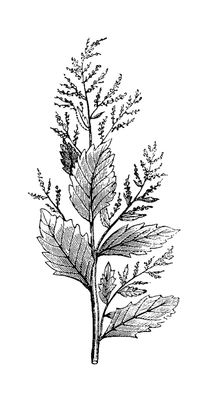 botanical drawings black and white Google Search
