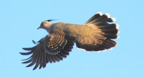 Crested pigeons sound the alarm with their wings | Crested ...