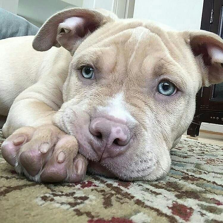 Awww Such An Adorable Pitty Look Her Pretty Blue Eyes I Am In