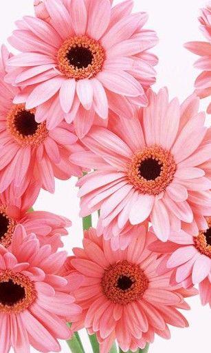 Colour Beauty Gerbera Flower Flowers Pinterest Fleurs