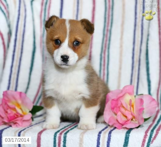 Rose Welsh Corgi Pembroke Puppy For Sale In Quarryville Pa Welsh Corgi Pembroke Puppy Fo Welsh Corgi Puppies Corgi Puppies For Sale Puppies For Sale