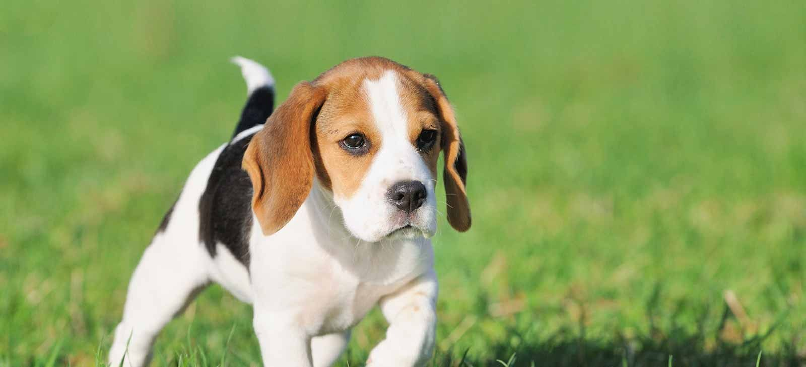 Puppies For Sale In Pa Find Your Perfect Puppy At Greenfield