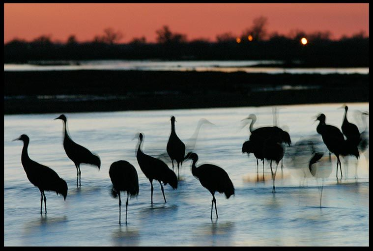 "Visual #BibleVerseoftheDay: Psalm 42:8 and Sandhill Cranes Settle for the Night, Platte River Valley, Central Nebraska. ""God's song will be with me in the night…"" CLICK THE PHOTO to be blessed by the complete passage. http://visualverse.thecreationspeaks.com/through-the-shadows-of-the-night/"
