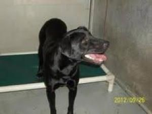 Adopt Blossom On Black Labrador Retriever Labrador Retriever