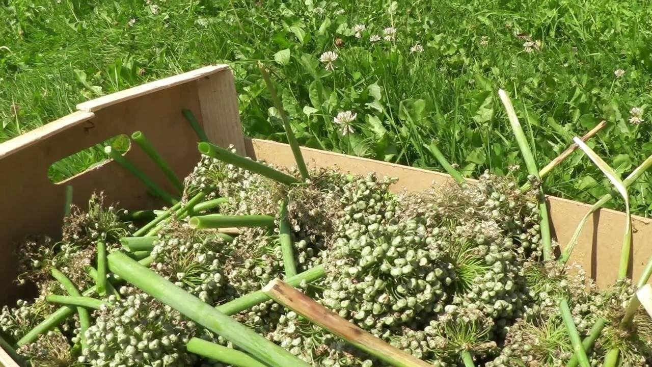 Cosecha de semillas de cebolla (tuhuerto facil.es)
