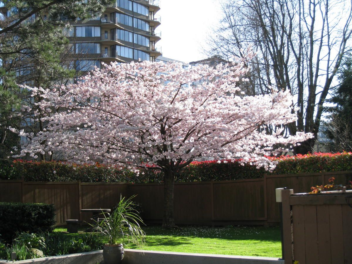 Identification Ornamental Cherry With Horizontal Growth Ornamental Cherry Cherry Tree Tree