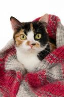 Portrait of a calico cat with a woolen shawl stock photo