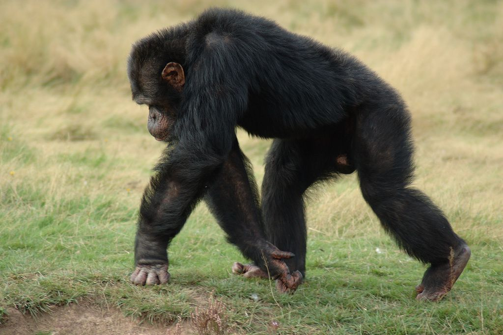 We have collected information on how fast a chimpanzee can run as