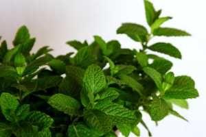 La hierbabuena también conocida como yerba santa, es una de las múltiples variedades de la familia de la menta. Su sabor y propiedades curativas son similares, pero también presentan diferencias. SIGUE LEYENDO EN: http://alimentosparacurar.com/plantas-medicinales/n/925/usos-medicinales-de-la-hierbabuena.html