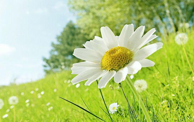 20 خلفية زهور رائعة عالية الدقة مجانا مداد الجليد In 2021 Daisy Field Flowers Photos Wallpaper Flowers